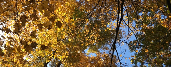 a golden autumn canopy of sugar maple leaves photographed by MJ Seal in a Shenandoah Valley Forest