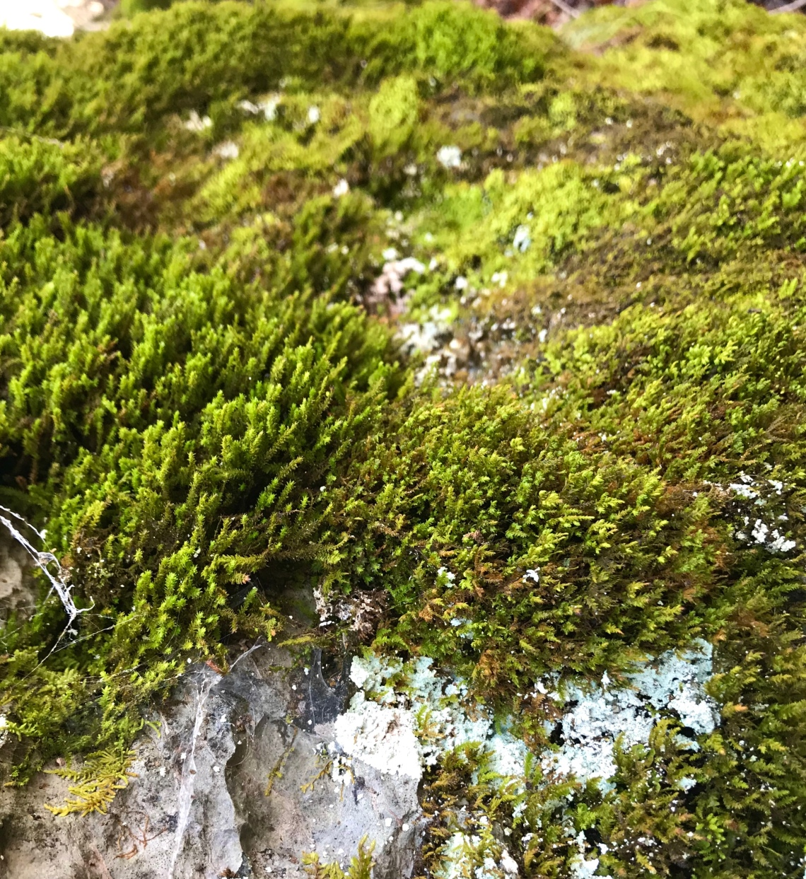 A limestone outcrop coated in moss and lichens in Virginia's Shenandoah Valley