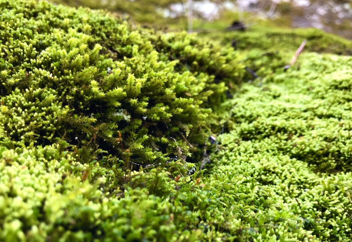 Close up shot if a clump of moss growing on a limestone outcrop in the Shenandoah Valley of Virginia