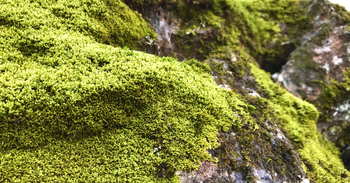Fuzzy bright green moss festoons an ancient outcrop of limestone in Virginia's Shenandoah Valley