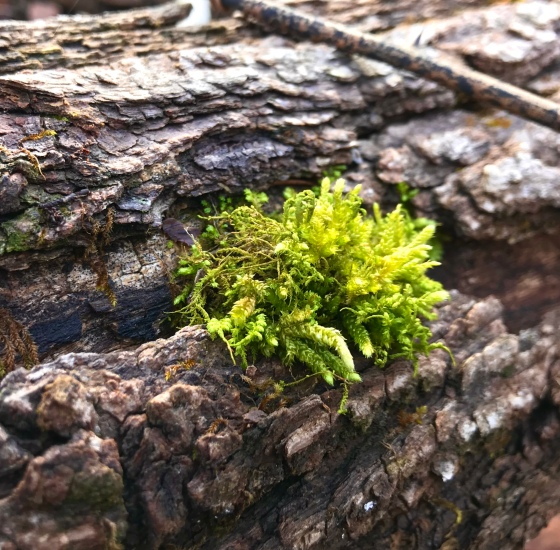 A clump of chartreuse green mosses seeping out of the cracked bark of a fallen tree in the Shenandoah Valley of Virginia