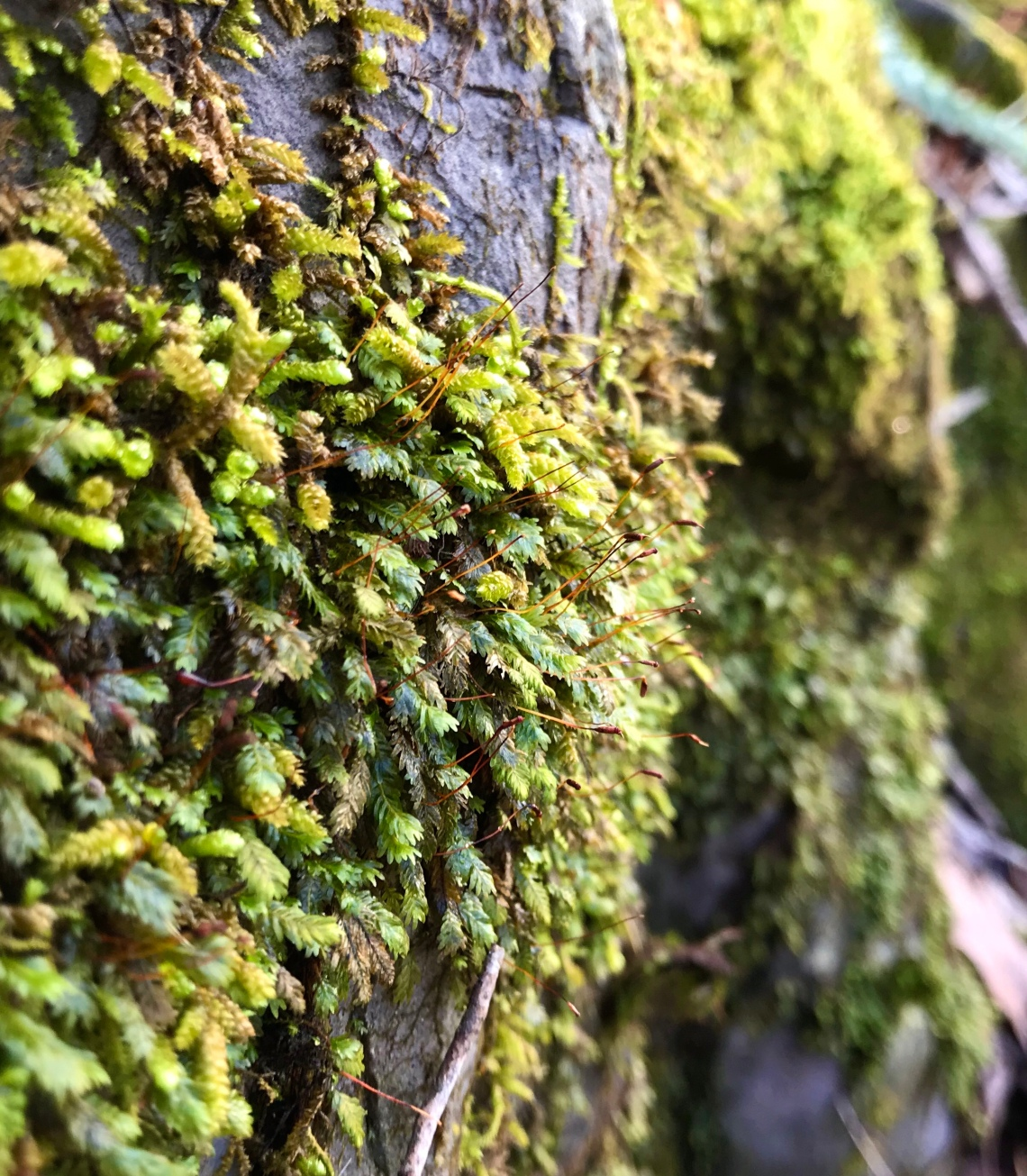 Fruiting mosses growing on a large limestone outcrop in an Appalachian forest
