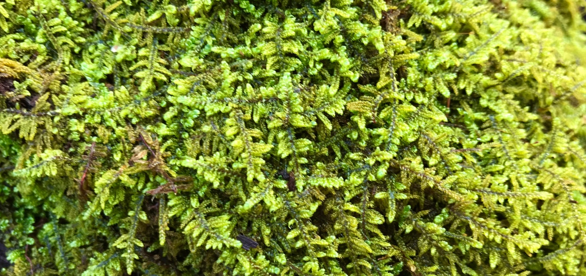 Aerial view of the canopy of a colony of mosses growing on the forest floor in Virginia's Shenandoah Valley