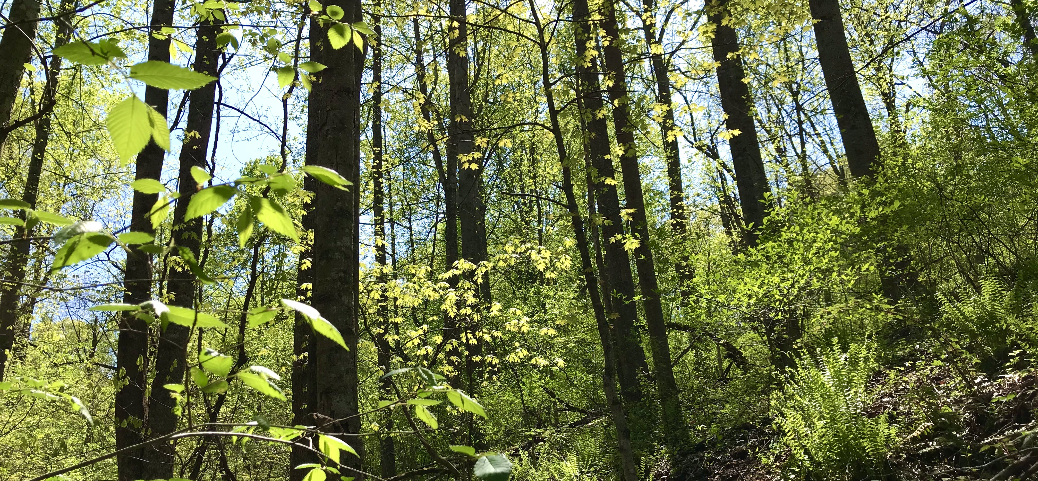 Trees leafing out in a Virginia Forest in early May photographed by MJ Seal