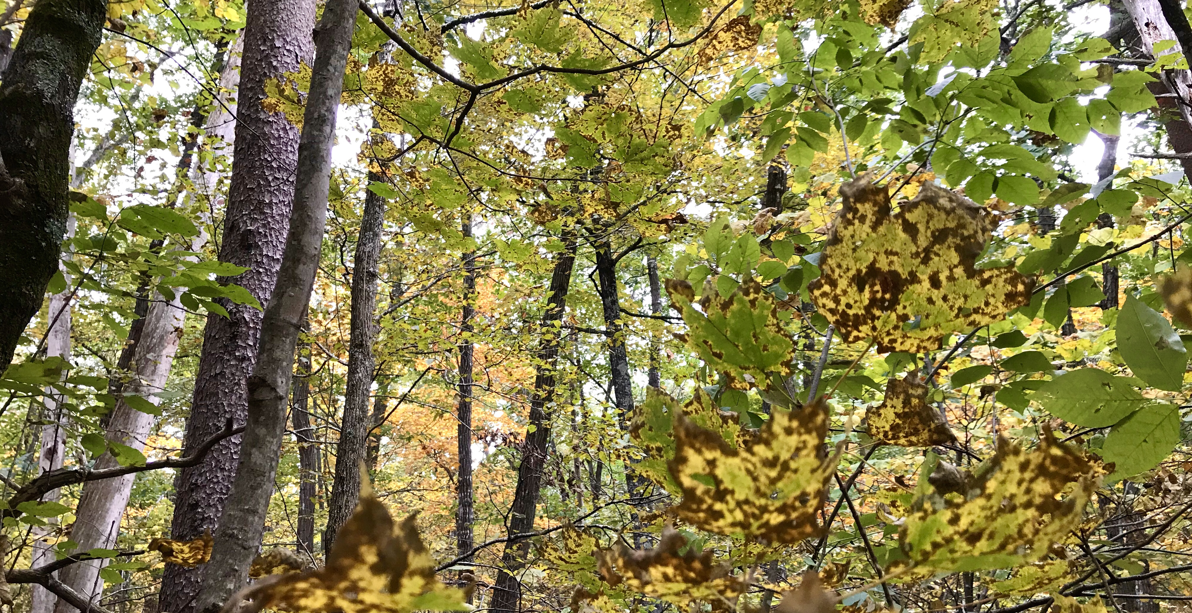 View of golden autumn leaves in a forest in Virginia's Shenandoah Valley photographed by MJ Seal