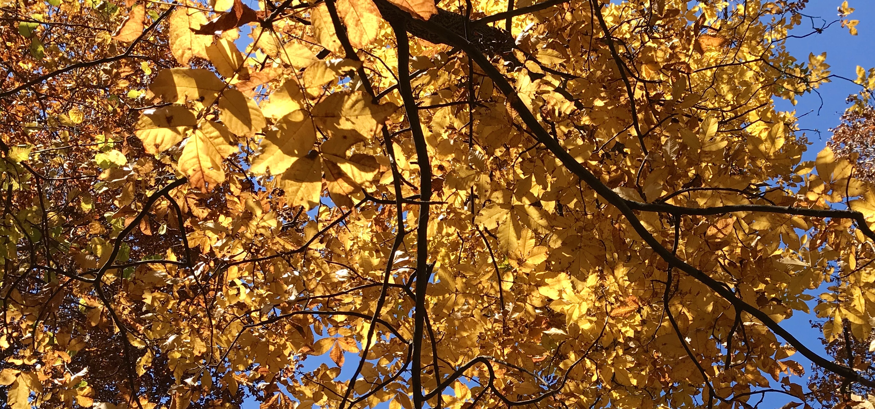 A golden canopy of Hickory leaves photographed by MJ Seal in the Shenandoah Valley of Virginia